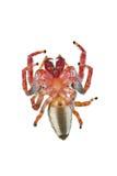Araignée branchante, famille Salticidae Photographie stock libre de droits