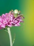 Araignée branchante femelle Photo libre de droits