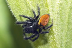 Araignée branchante noire Images stock