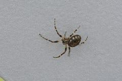 Araignée chassant la mouche sur son son Web Photographie stock libre de droits