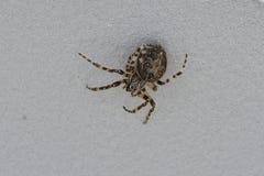 Araignée chassant la mouche sur son son Web Photo stock