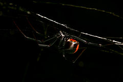 Araignée, chasse rouge-de retour et femelle la nuit Image stock