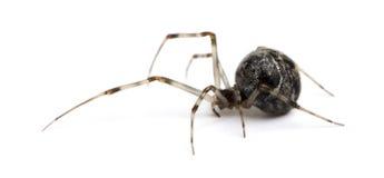 Araignée commune de maison - tepidariorum d'Achaearanea Photos stock