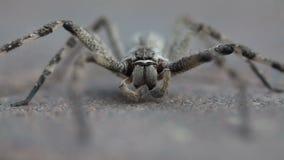 Araignée commune de pluie se toilettant banque de vidéos