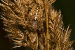 Araignée croisée Photo libre de droits