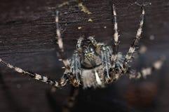 Araignée croisée Image stock