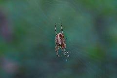 Araignée croisée de pièce en t dans son réseau Photographie stock libre de droits