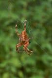Araignée croisée de pièce en t dans son réseau Image stock