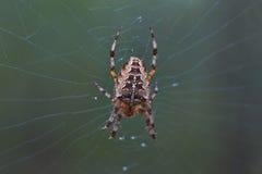 Araignée croisée de pièce en t dans son réseau Photo libre de droits