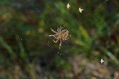 Araignée croisée de pièce en t dans son réseau Photos libres de droits