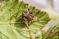 Araignée croisée sur la feuille verte Images stock