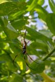 Araignée d'or à pieds rouges de globe-tisserand et x28 ; Inaurata Madagascar de Nephila images libres de droits