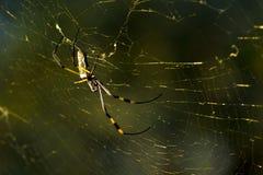 Araignée d'or de corps rond images stock