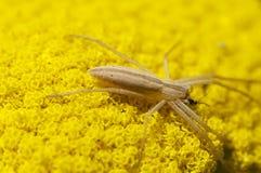 Araignée d'herbe Photographie stock libre de droits