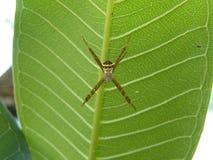 Araignée d'herbe de jardin Photographie stock