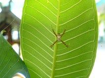 Araignée d'herbe de jardin Image stock