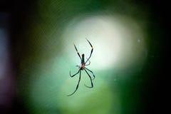Araignée d'or ou araignée géante dans la forêt Photos libres de droits
