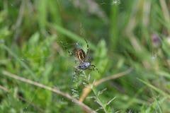Araignée d'araignée ou de guêpe de tigre ou bruennichii d'Argiope Photographie stock libre de droits