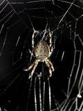Araignée dans le réseau Photos stock