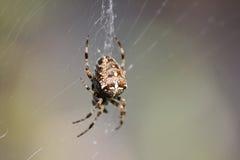 Araignée dans le Web Photos stock