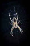 Araignée dans le Web Photos libres de droits