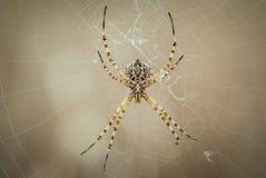 Araignée dans sa chasse de attente de Web, grand détail de sa bouche et pattes Photo libre de droits