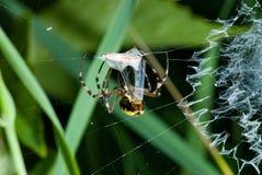 Araignée dans son réseau Photographie stock