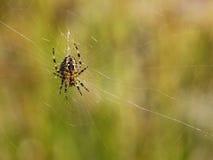 Araignée dans un Web Photo libre de droits