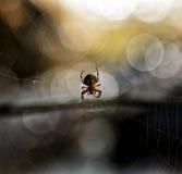 Araignée dans un Web image stock