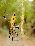 Araignée de banane sur le Web dans la forêt photo libre de droits