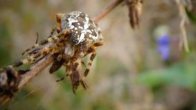 Araignée de Brown Photo stock
