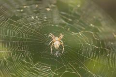 Araignée de Brown Photographie stock
