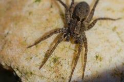 Araignée de Brown avec de grands yeux en gros plan photographie stock