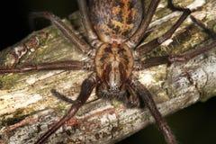 Araignée de Chambre ou de toile d'araignee. Photographie stock libre de droits