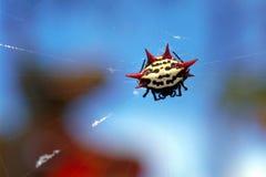 Araignée de corps rond Photo stock