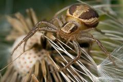 Araignée de crabe Image stock