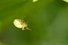 Araignée de crabe Photo libre de droits