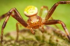 Araignée de crabe Photographie stock libre de droits