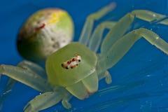 Araignée de crabe Photos stock