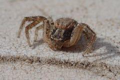 Araignée de crabe de Brown Photo stock