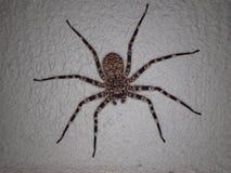 Araignée de crabe de mur Image stock