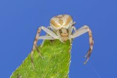 Araignée de crabe manoeuvrant un brin de soie photos libres de droits