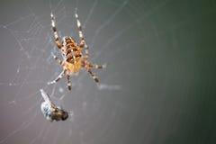 Araignée de diadème avec la proie Photo stock