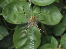 Araignée de guêpe Images stock