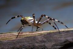 Araignée de guêpe Photo libre de droits