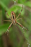 Araignée de guêpe Image libre de droits