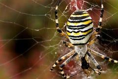 Araignée de guêpe photo stock