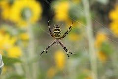 Araignée de guêpe Photographie stock