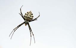 Araignée de guêpe Photos libres de droits