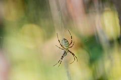 Araignée de guêpe avec un fond brouillé Photographie stock